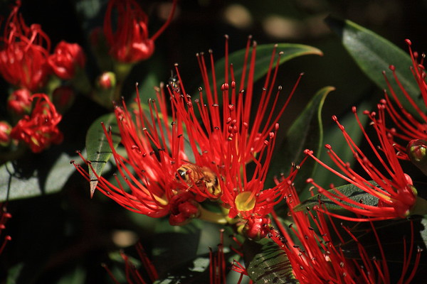 Flowering New Zealand Southern Rata