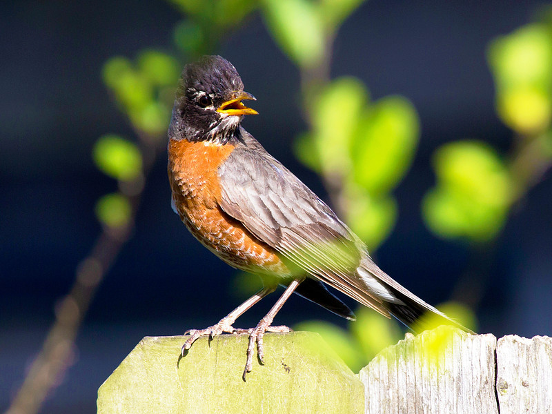 Stately Robin on the back fence