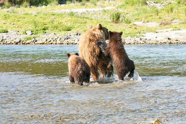 Mother Brown Bear Twin Spring Cubs Katmai