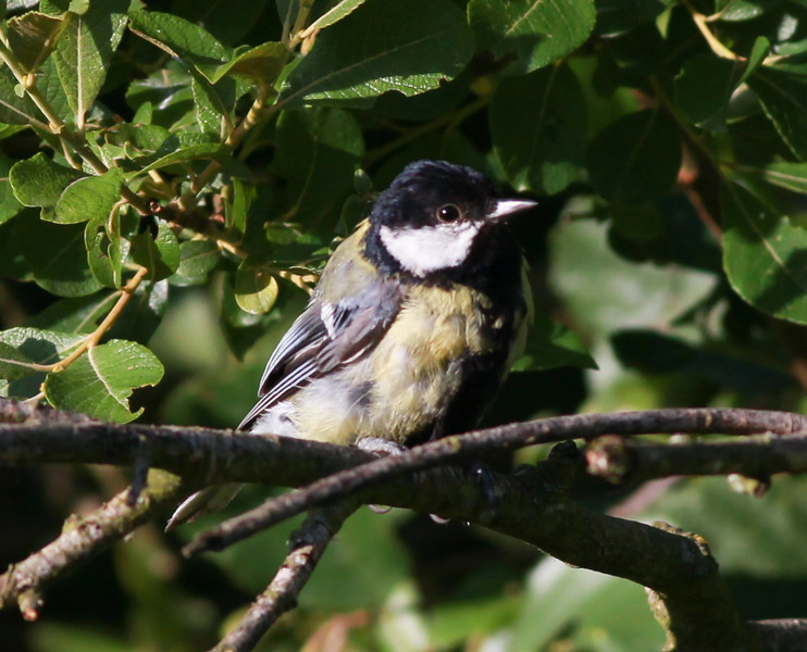 Great Tit  Amsterdam 2014 06 25-1.JPG