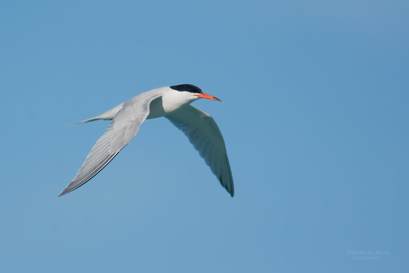 Roseate Tern, Lady Elliot Island, QLD, Dec 2015-10.jpg