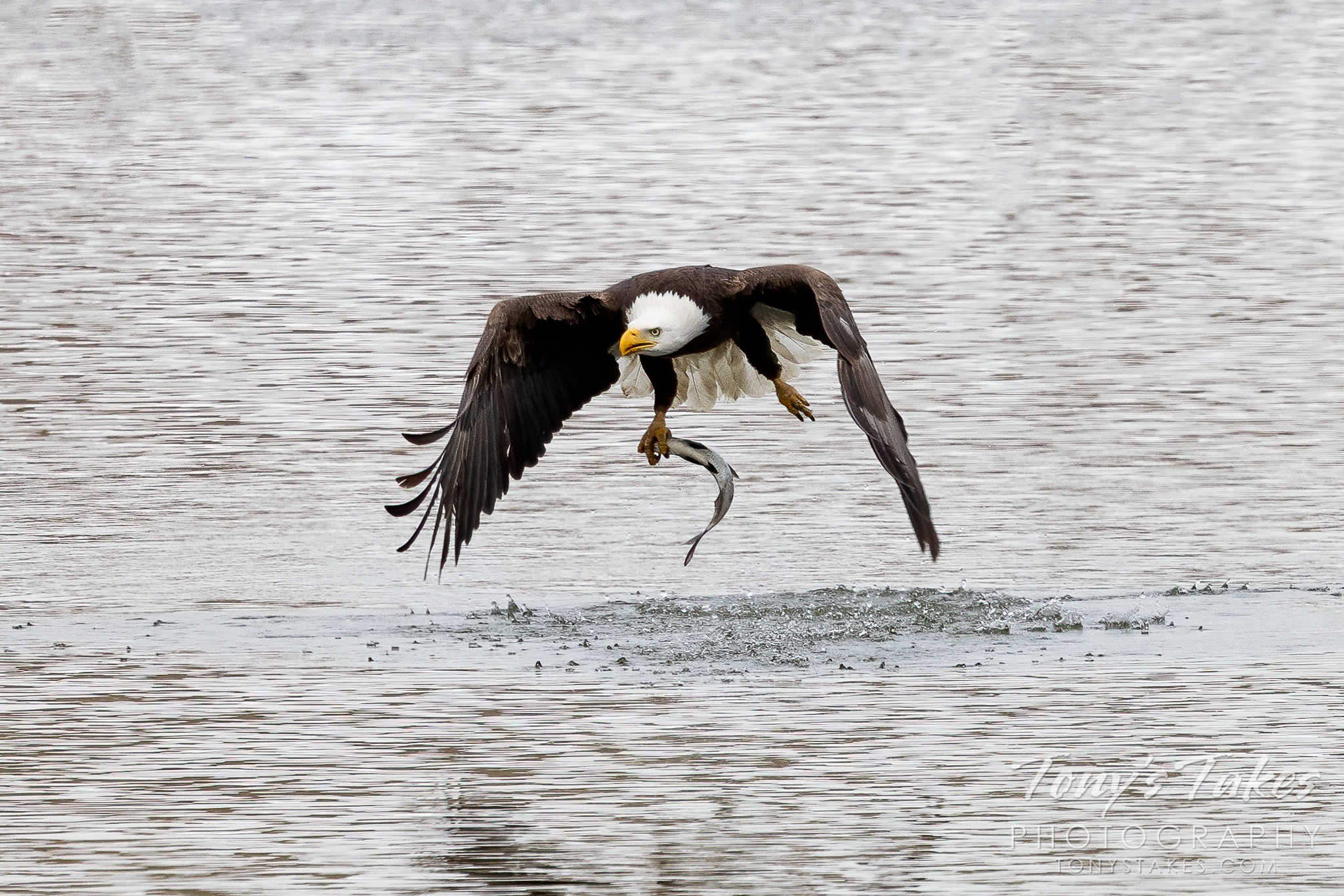 Bald eagle nails the catch