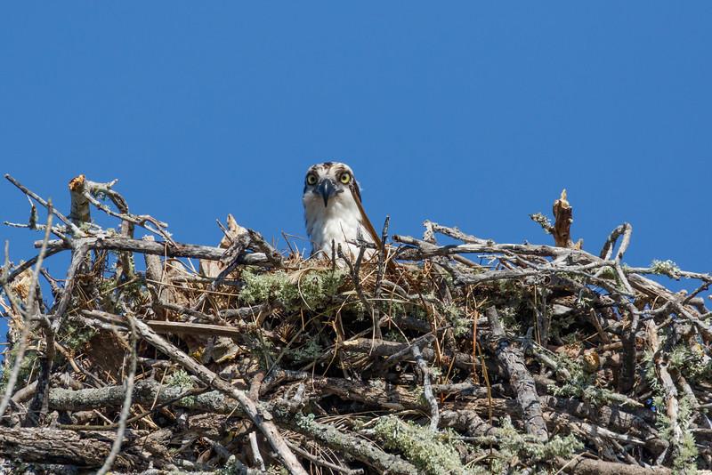 Osprey Nest-8041.jpg