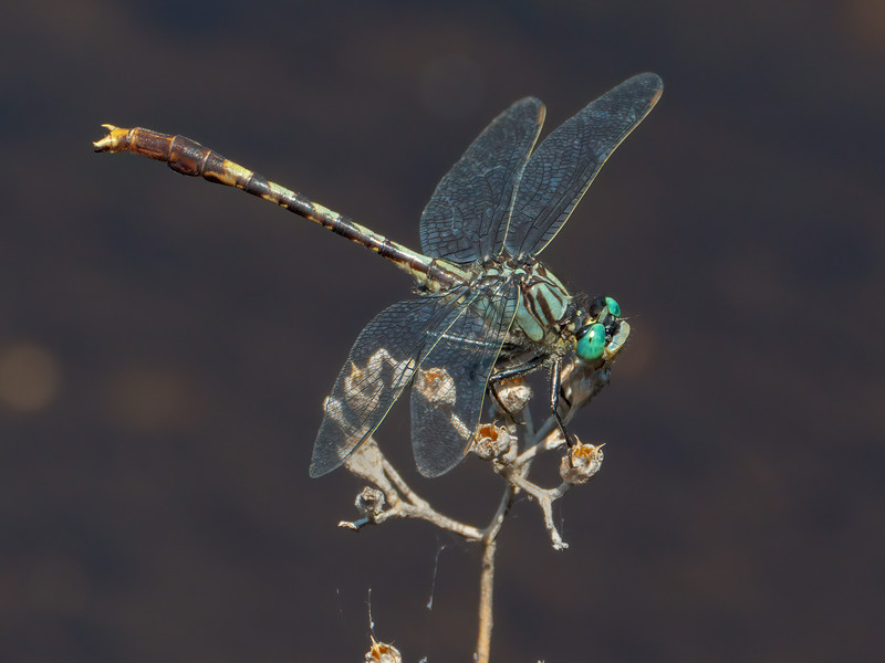 Unicorn Clubtail (Arigomphus villosipes), male