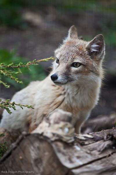 Swift Fox, Calgary Zoo