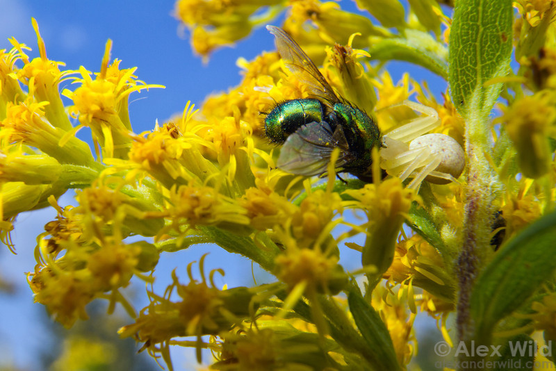 A crab spider (Thomisidae), blending in among the goldenrod flowers, feasts on a fly.  Urbana, Illinois