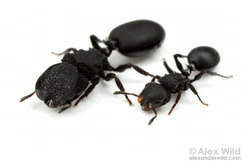 Major and minor workers of Cephalotes rohweri, the Arizona turtle ant.   Tucson, Arizona, USA