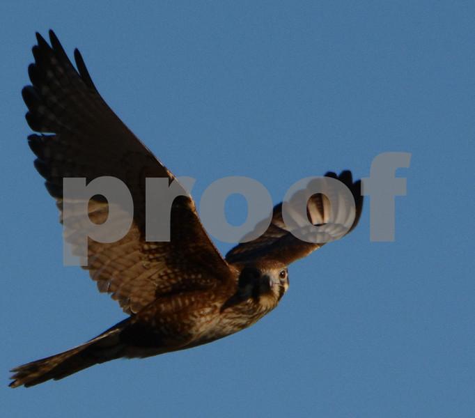 Hawk copy crop copy.jpg