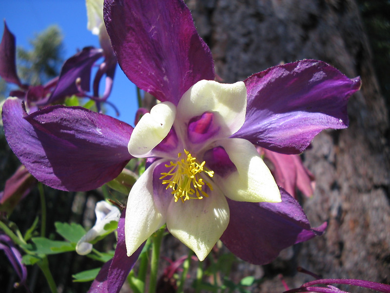 06_24_06 Columbine Purple