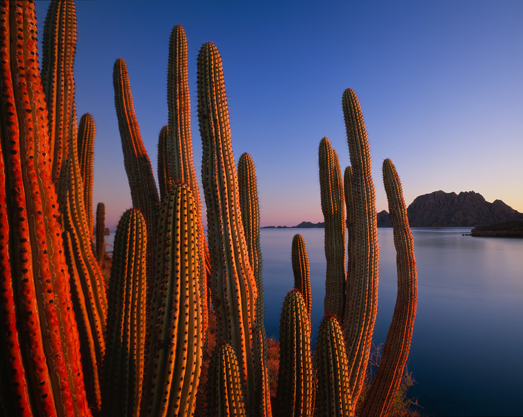Baja California Sur, Mexico / Organ Pipe Cactus, Cereus thurberi, at dawn overlooking Isla del Carmen near Loreto. 22002H4