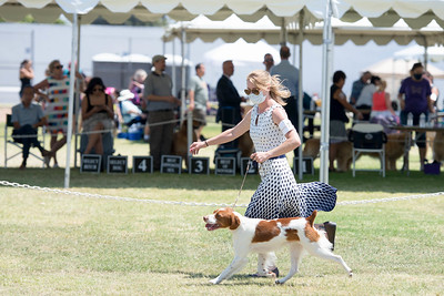 2021 South Bay Kennel Club Brittanys on Sunday