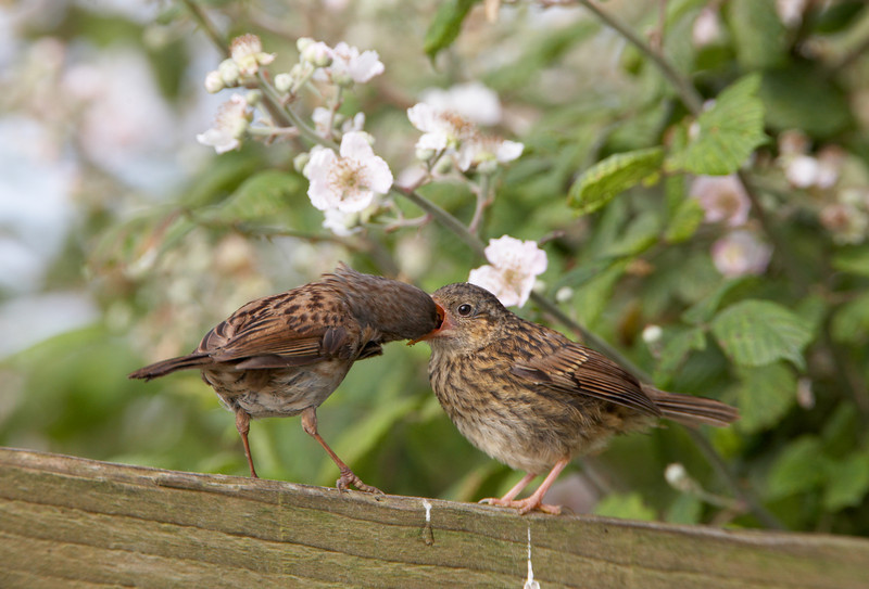 Dunnock and Chick - 1896.jpg