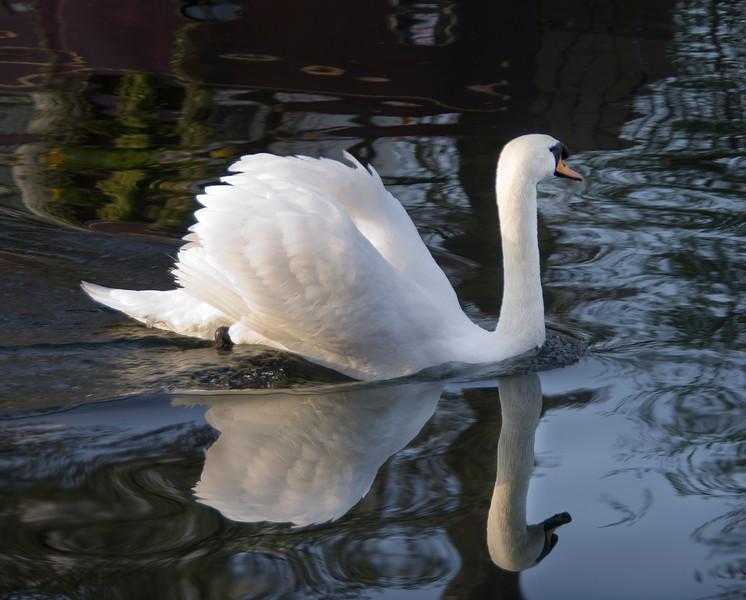 Swan -12.jpg