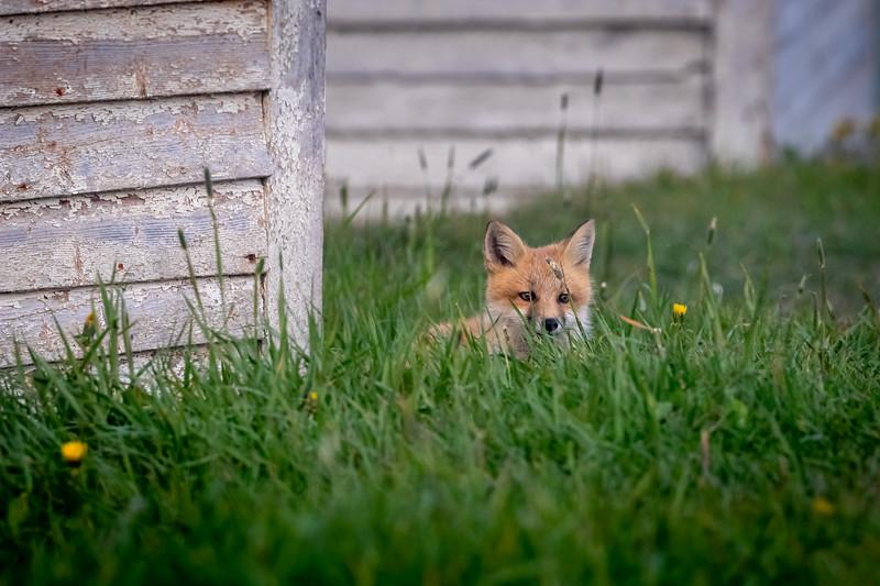Fox kit in the grass  2162-.jpg
