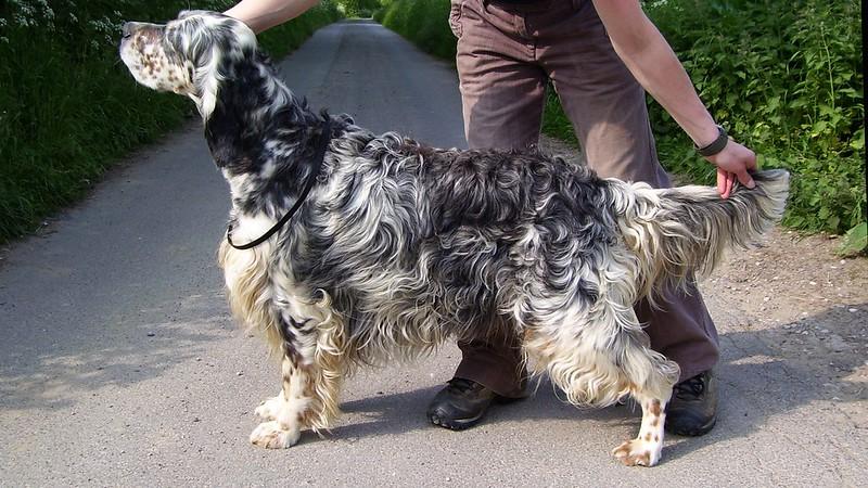 English-Setter-Dog-Grooming-Before.jpeg