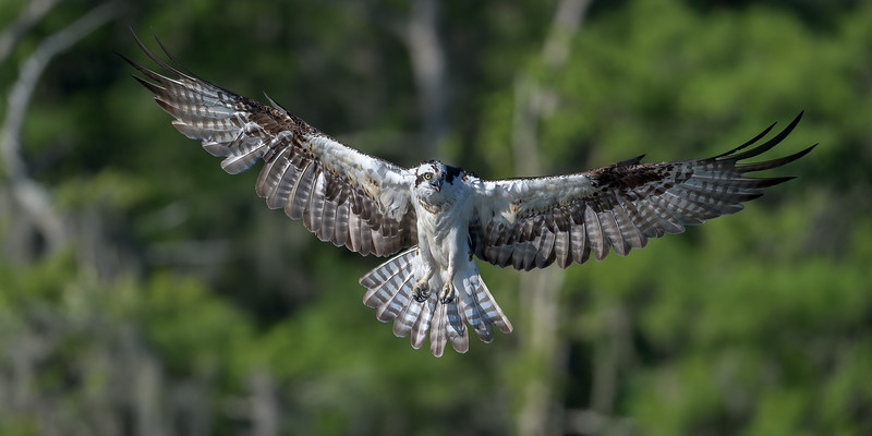 2021_KSMetz_Florida_Osprey Trip_April06_NIKON D5_0666-Edit.jpg