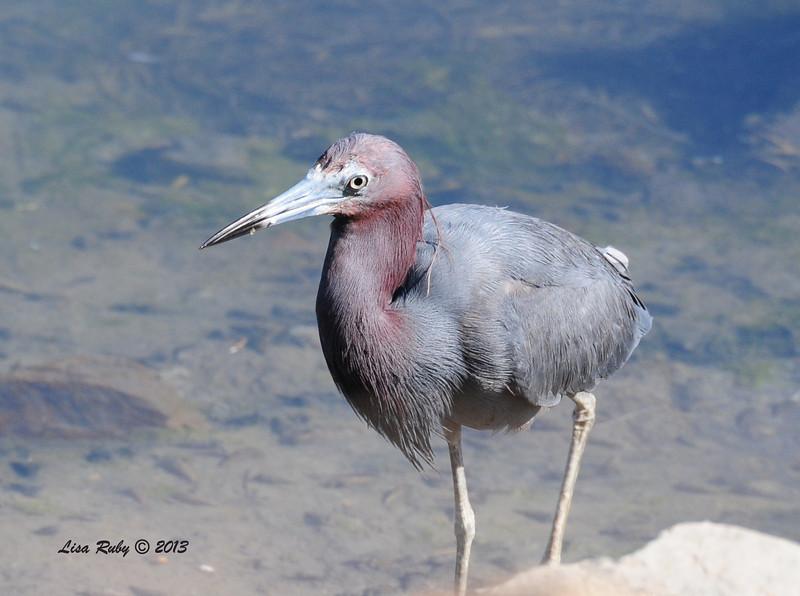 Little Blue Heron - 9/7/2013 - Robb Field