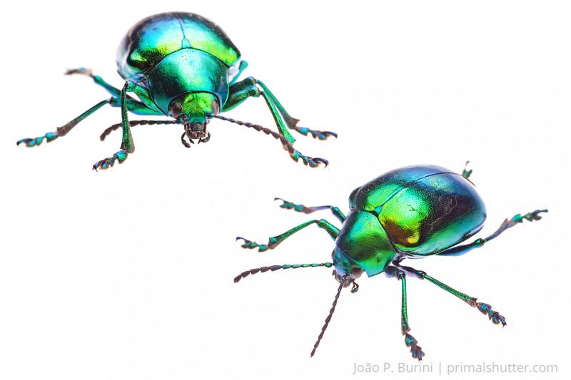 Beetle (Eumolpus species) Sorocaba - SP, Brazil November 2012 Urban