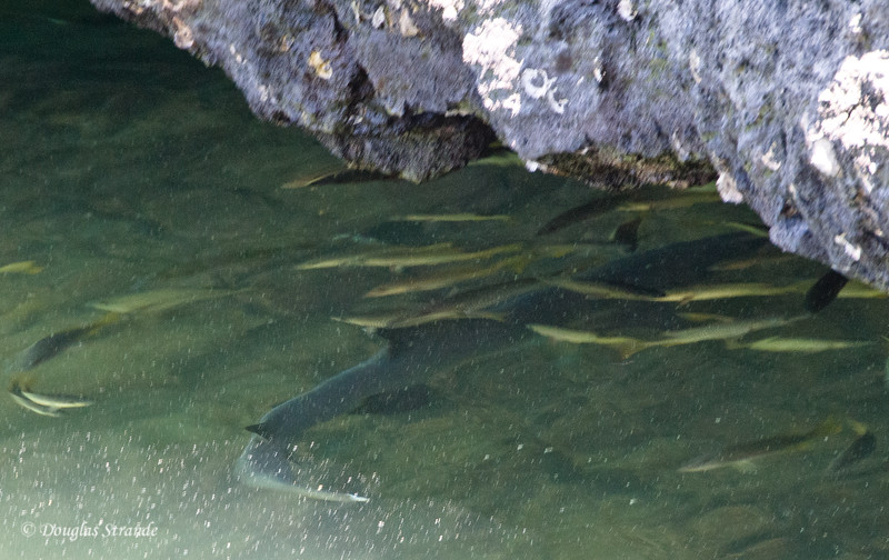 Fish and a White-Tipped Shark in the Tidal Pool on Punta Moreno, Isabela Island
