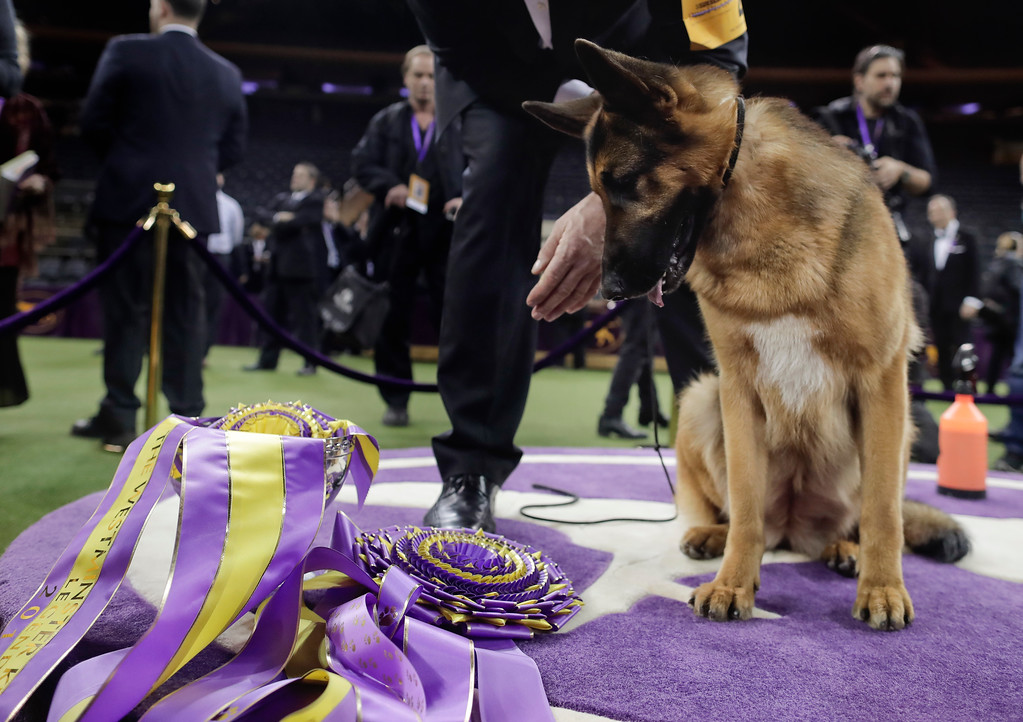 . Rumor, a German shepherd, looks down at her ribbons after winning Best in Show at the 141st Westminster Kennel Club Dog Show, Wednesday, Feb. 15, 2017, in New York. (AP Photo/Julie Jacobson)