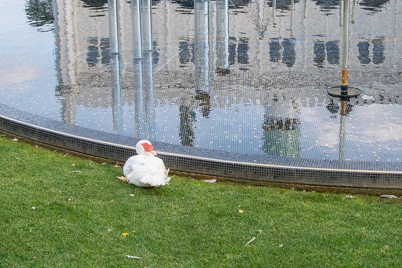 Tivoli Gardens - Duck
