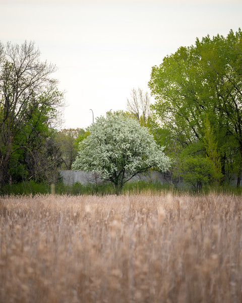 solo white blossoms on a tree across a wetland in a park