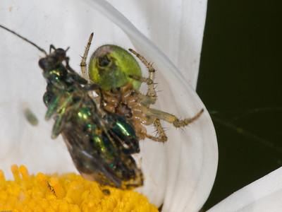 Orb Web Spider( Araneidae)