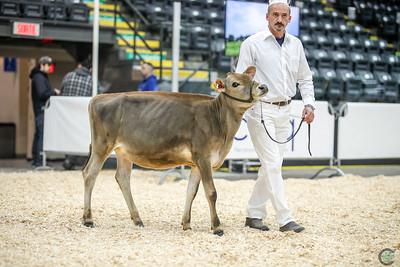 Quebec Spring Jersey Heifers 2018