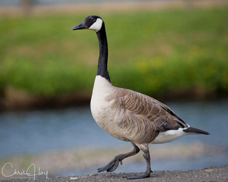 Canada Goose.jpg