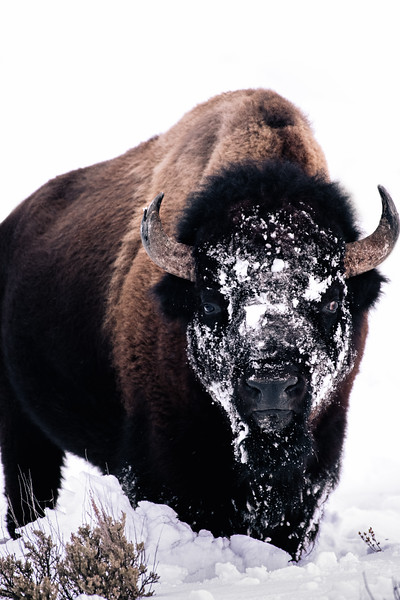Bison-1.jpg