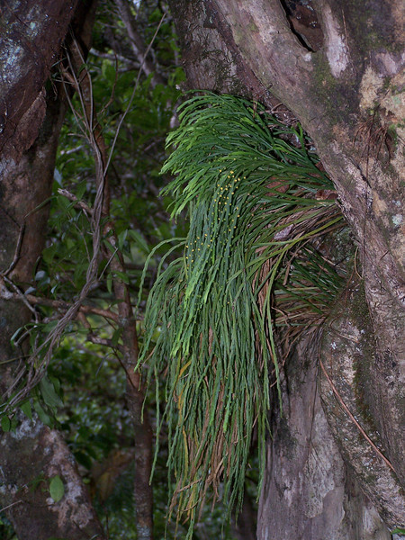 """Psilotum complanatum on Metrosideros <br><br><font size=""""-1"""">This image is licensed under the <a href=""""http://creativecommons.org/licenses/by-nc/3.0/"""">Creative Commons Attribution-NonCommercial 3.0 Unported license</a>.  You may share and adapt this work, but only <b>with attribution</b> (""""by Hank L. Oppenheimer"""") and only for <b>non-commercial</b> purposes unless permission is obtained from the copyright-holder (contact <a href=""""mailto:webmaster@hear.org?request to use one of HLO's photos"""">webmaster@hear.org</a>). </font>"""