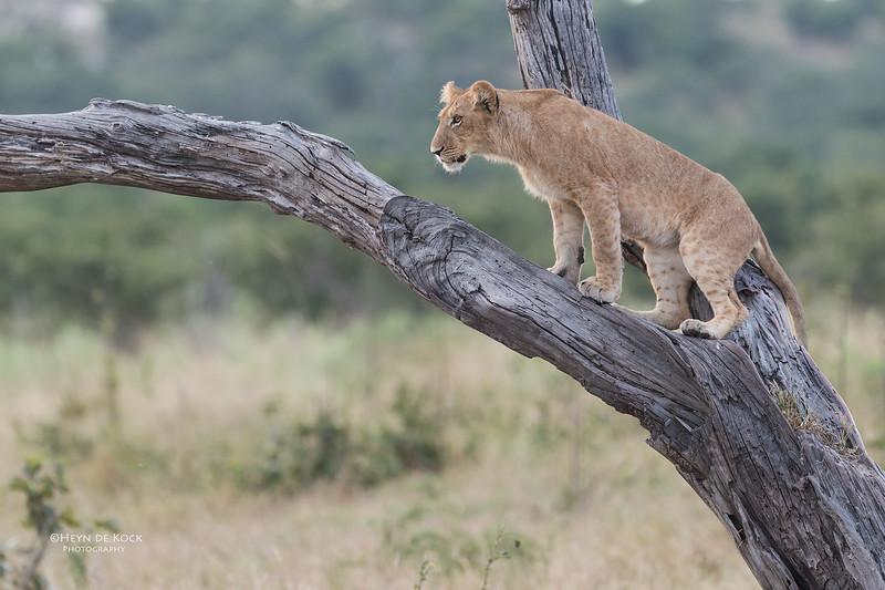 African Lion, Savuti, Chobe NP, Botswana, May 2017-34.jpg