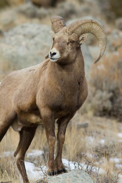 bighorn sheep003.jpg