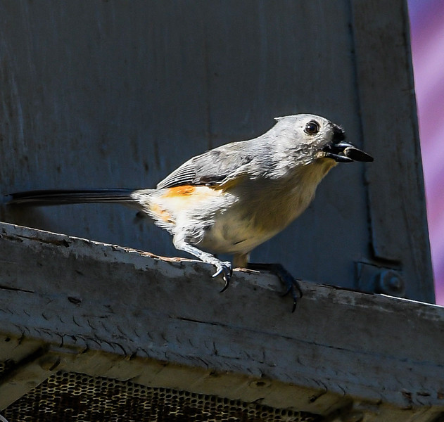 Tufted Titmouse on Feeder