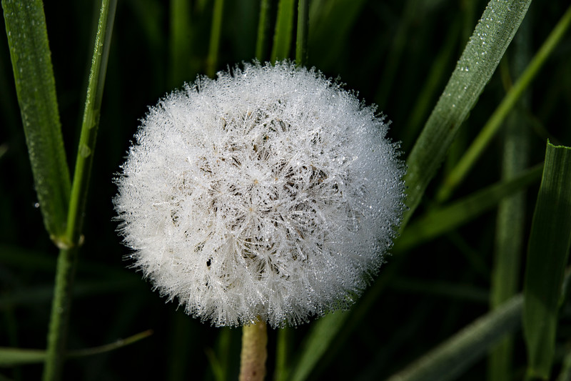 Dandelion-morning-dew-seeds-May-Taraxacum.jpg