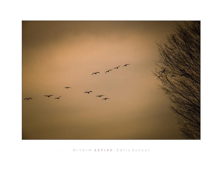 Arvind 2 - Geese in Flight.jpg
