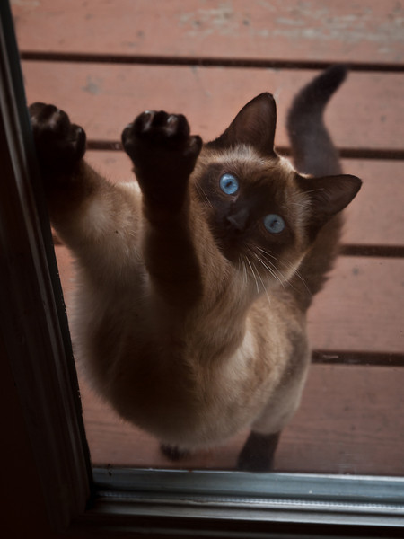 Let me in! Our young Siamese cat has in-out-in-out-in-out tendencies. 8/26/10