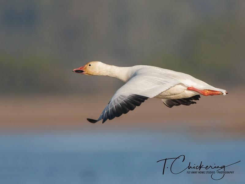 Snow Goose in Flight Five-1506030375785.jpg