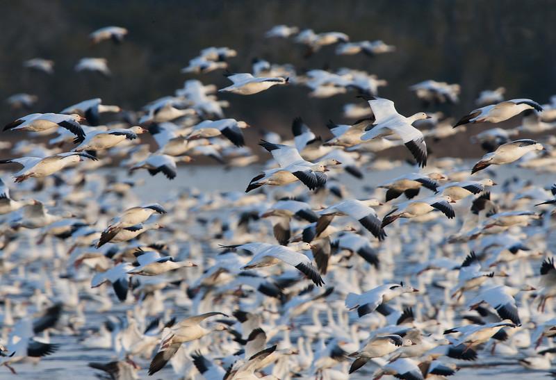 Snow Geese - Blast Off