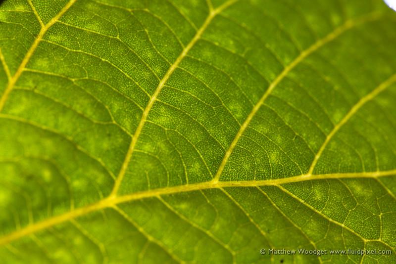 Woodget-140928-065--back lit, cellulose, green, leaf, macro, macro photography, nature, peaceful.jpg