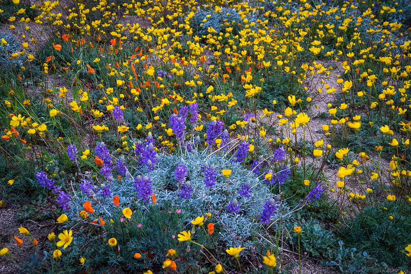 Sierra_Pelona_Mountains_Wildflowers_DSC5847.jpg