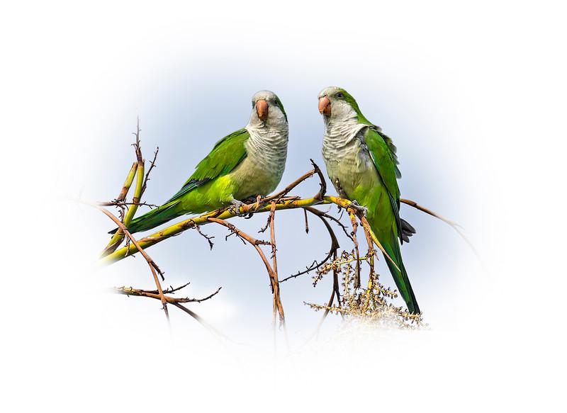 Wild Green Parrots 2