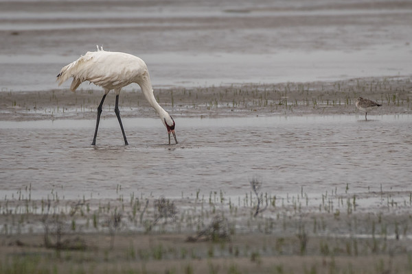 20190312-Rockport TX Whooping Crane-other shore birds
