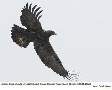 Golden EagleF46855.jpg