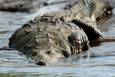 Crocodile VilLapas_09-11-01_7I2B1412