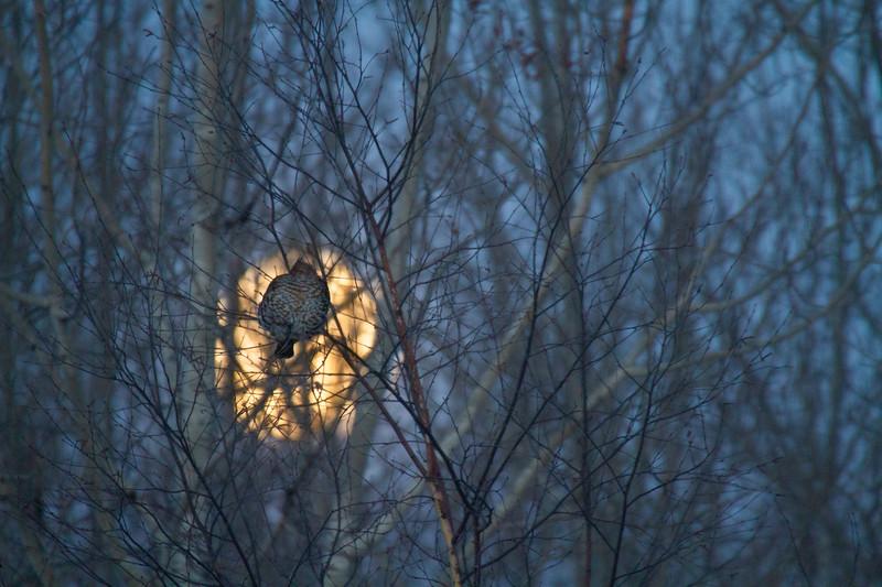 Ruffed Grouse and full moon CR83 Sax-Zim Bog MN-0197.jpg
