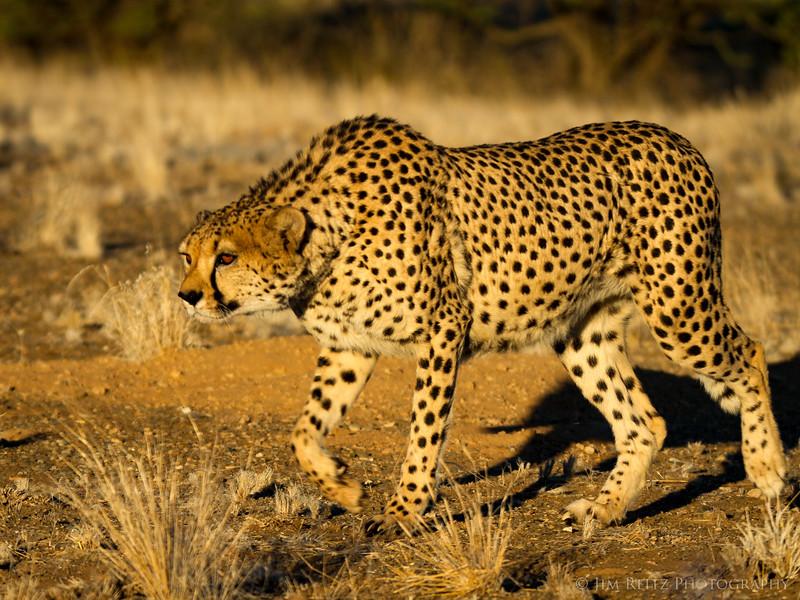 (captive) Cheetah - game reserve near Keemanshoop, Namibia