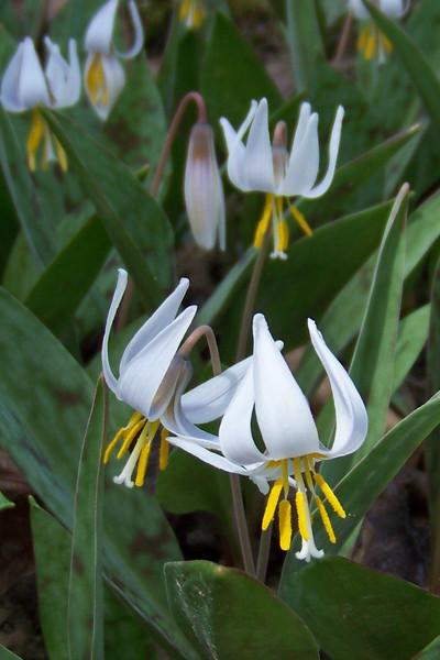 Cherokee Park Wildflowers 2010
