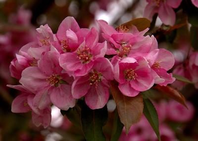 Ornamental Cherry Tree Blossoms