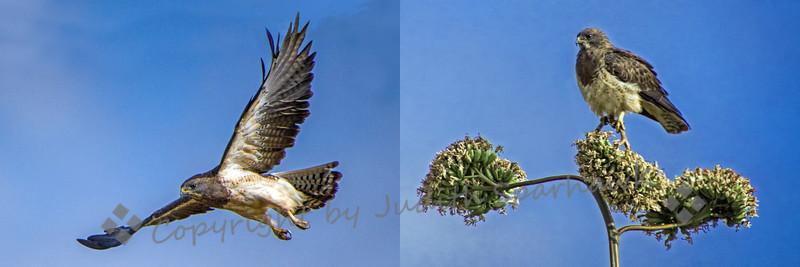 Swainson's Hawk Duo